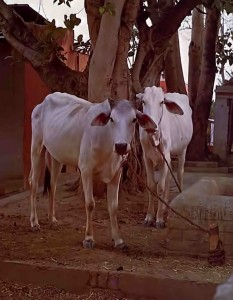 Cows in Vrindavan. 1975.