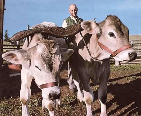 Baby bulls train as oxen at New Gokula.