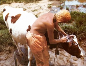 A farm worker bathes Maharani,a thoroughbred Freesland cow from Europe who gives about sixteen pounds of milk a day.