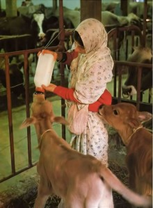 Feeding the calves at ISKCON's New Vrindavan Farm Community. 1975.