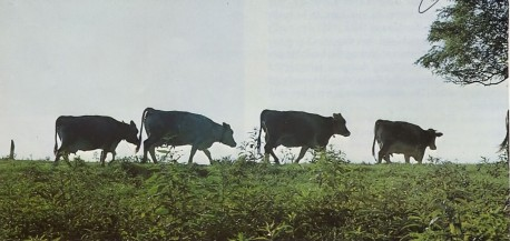 New Vrindavan's Krishna's cows, the best dairy herd in West Virginia. 1975.