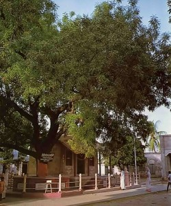 "Ancient nim tree under which Lord Caitanya took His birth gave Him His youthful nickname of ""Nimai.'' 1976."