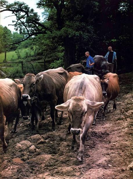 Cows at Hare Krishna Farm - 1976