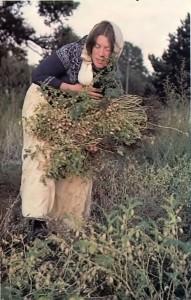 Harvest time at New Mayapur, ISKCON's Farm in France. 1976.