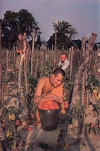 Devotee picking tomatoes at New Mayapur, ISKCON's Farm in France. 1976.