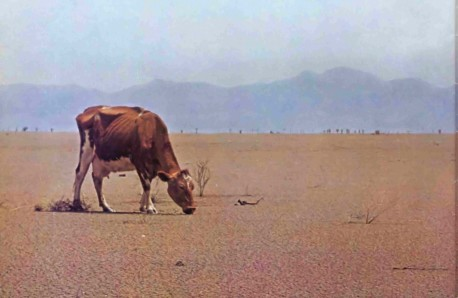 The Weather Emergency: Skinny Cow grazing on barron land - 1977