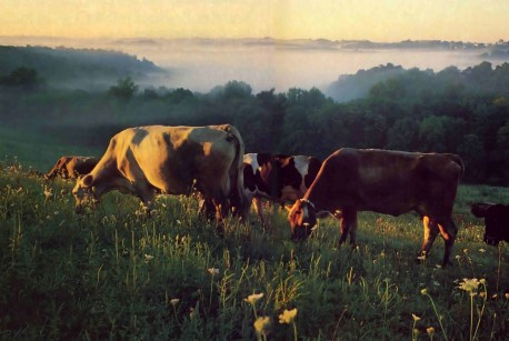 The ISKCON New Vrindavan forty-cow milk herd grazes on the upper pasture at dawn. - 1977