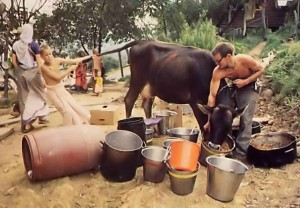 Cow eats out of Sunday Feast Serving Pots New Vrindavan - 1977