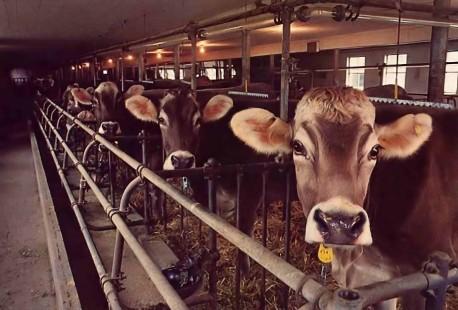 Gita-Nagari's Dairy Cows 1977