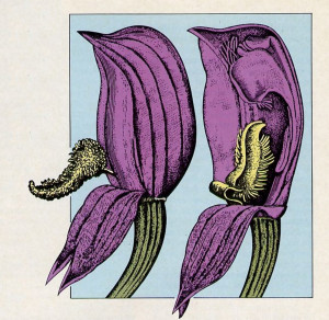 Two views from Darwin's book on orchids show the structure of that flower. Having argued that God would not create a flow er with such a design. Darwin concluded that such flowers mu st have arisen by evolution.
