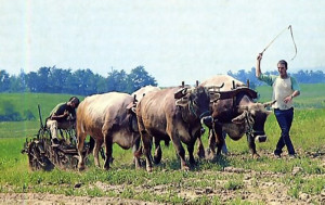 On ISKCON farms, devotees apply timeless Vedic instructions for working tile land with oxen.