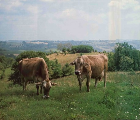 Cow Protection – Practical Necessity for a Peaceful Society