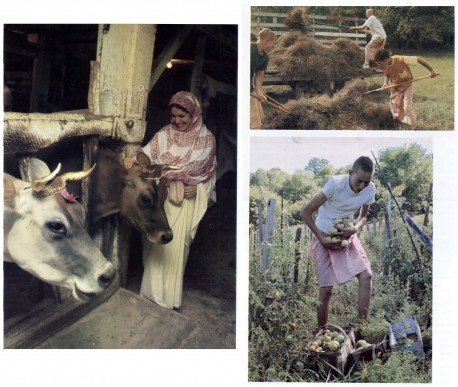 Life on Hare Krishna ISKCON Farm with Cows, 1973(Photos taken at New Vrndavana, ISKCON's 1,000 acre farming community near Wheeling, West Virgina)