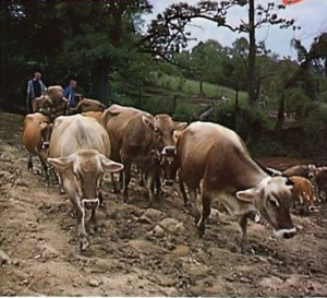 Cows at New Vrindvan ISKCON farm community 1975