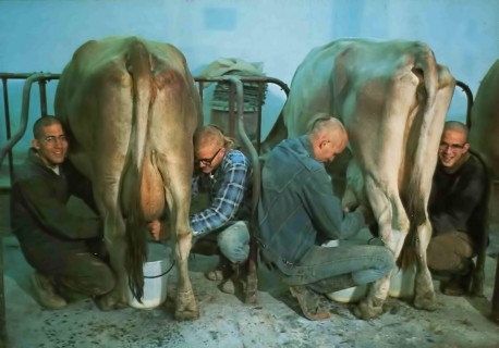 Hare Krishna Devotees Milking Cows at ISKCON's Farm Community New Vrindavan. 1975.