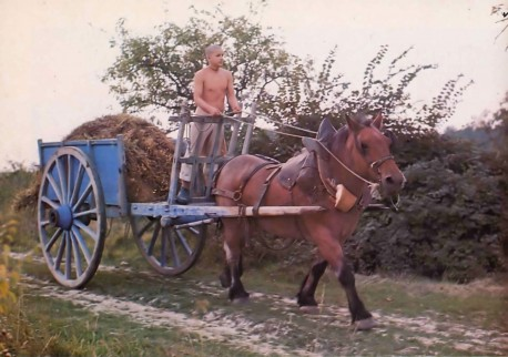 Devarata brings a load of freshly cut straw to the cowshed. New Mayapur ISKCON's farm in France. 1976.