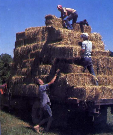 Stacking hay bundles for the cows