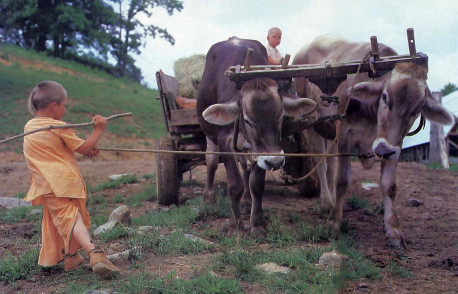 """Without all the ruckus and headaches,"" says Balavanta, ""oxen do the same work as tractors and trucks."" These Brown Swiss oxen are pulling hay to the cows' feed trough."