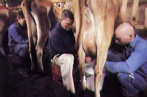 milking cows in Mississippi