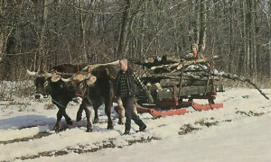 Vaisnava dasa guides the oxen over a snow-covered trail during a run to bring in wood for the temple.