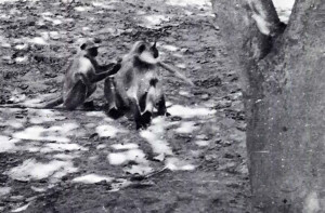 Black-faced monkeys such as are frequently to be seen along the Parikram path.