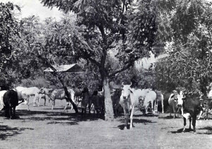 In a manner similar to Krishna and the cowherd boys, children still tend herds of cows in the fields and forests surrounding Goverdhan Hill today.