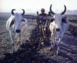 bulls plow the land before the seasonal rains arrive